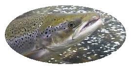 Round-Single-Salmon-